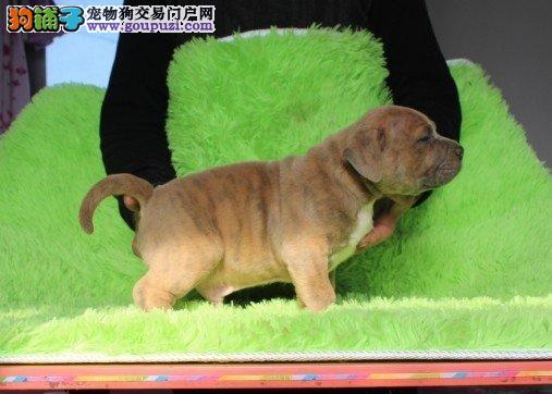 南昌本地出售高品质比特犬宝宝假一赔万签活体协议