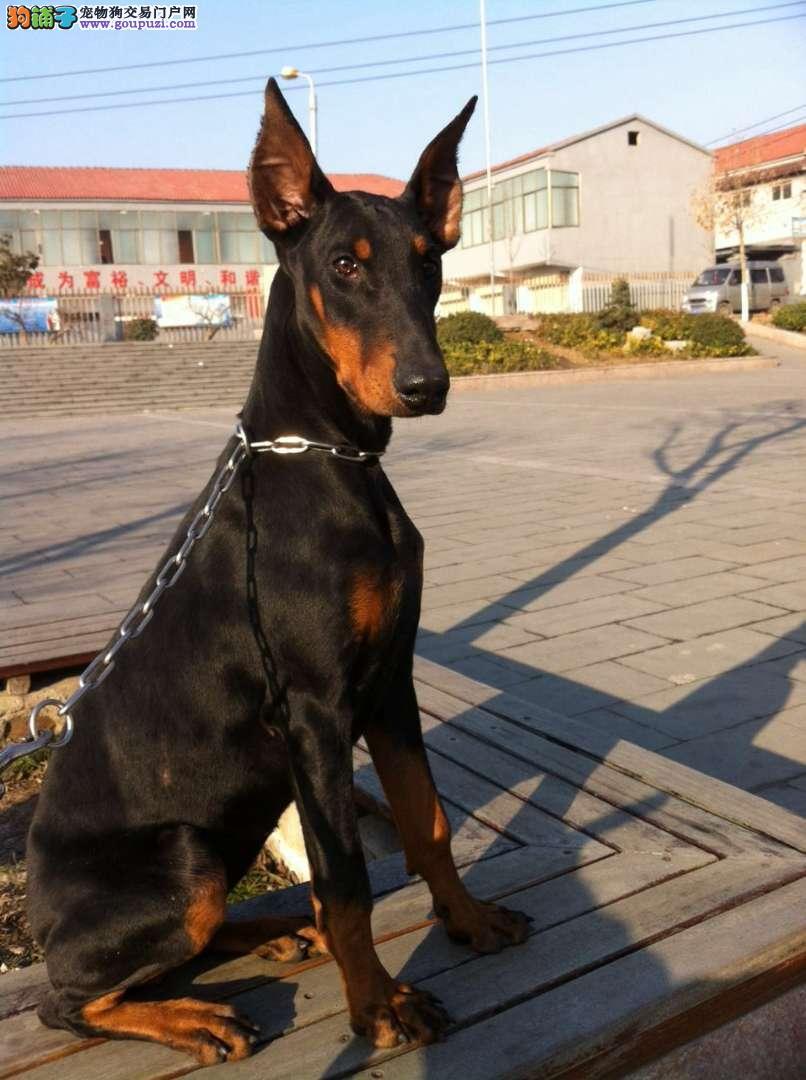 犬舍直销纯种杜宾宝宝希望能够找到喜欢他的主人