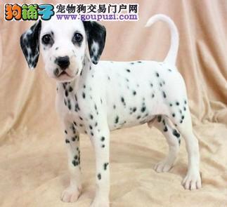 斑点狗幼犬出售,纯种斑点狗上门父母可见,欢迎选购