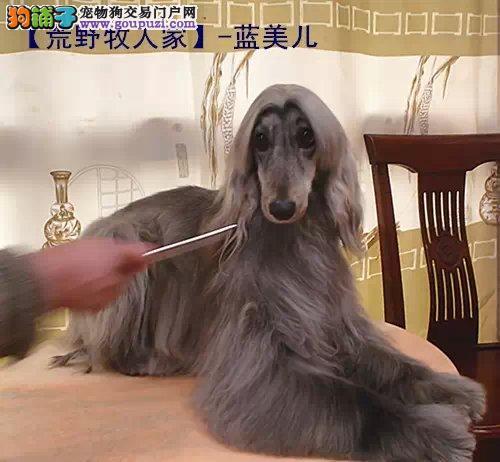 出售纯种健康的阿富汗猎犬幼犬欢迎爱狗人士上门选购