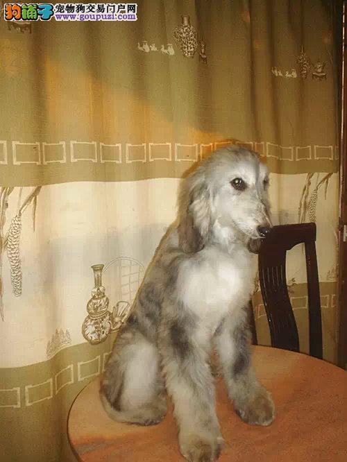 青岛出售颜色齐全身体健康阿富汗猎犬品质一流三包终身协议