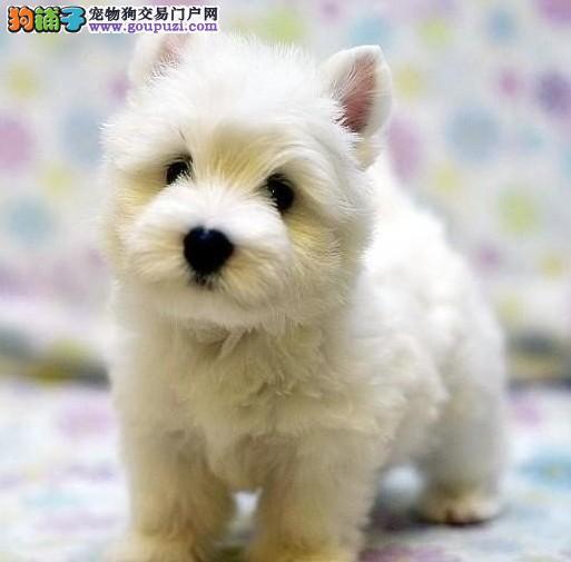 CKU认证犬舍 专业出售极品 西高地幼犬包养活送用品