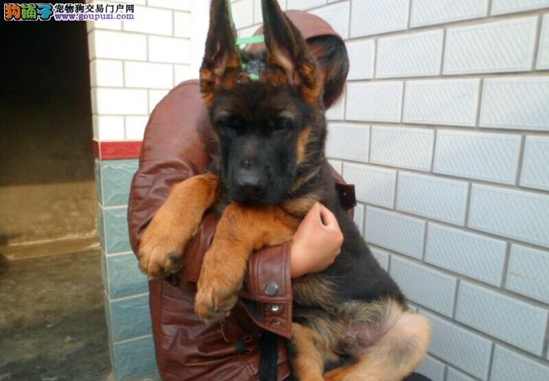 特价/德牧全场5 8折/送宠物用品/签质保协议