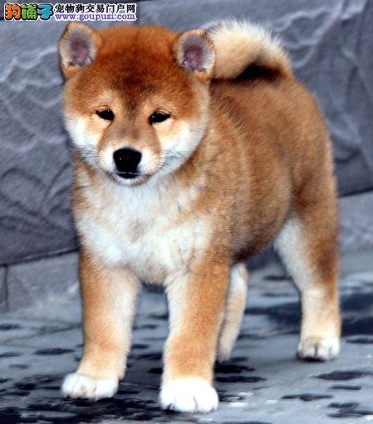 日本柴犬赛级双血统照片实拍可视频可送货