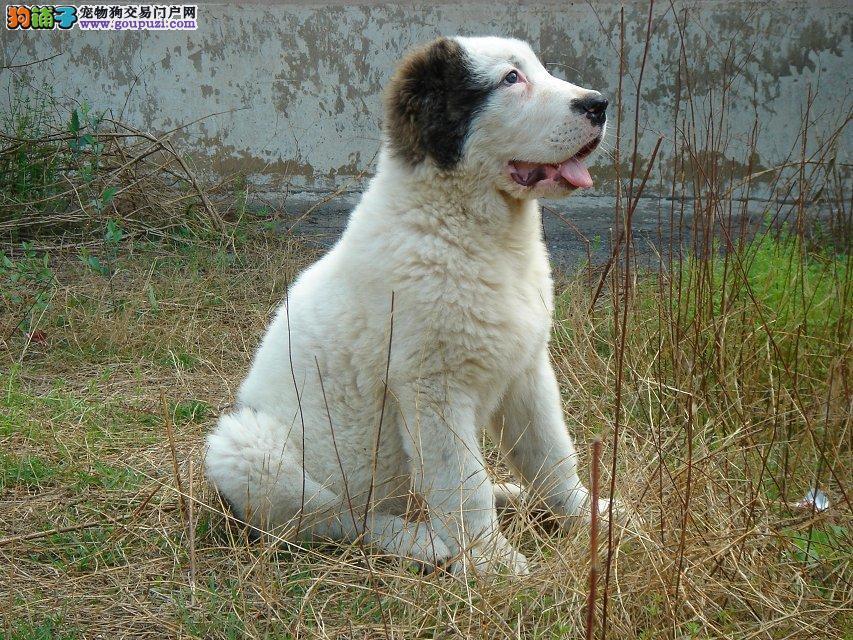 正规狗场犬舍直销中亚牧羊犬幼犬欢迎您的指导