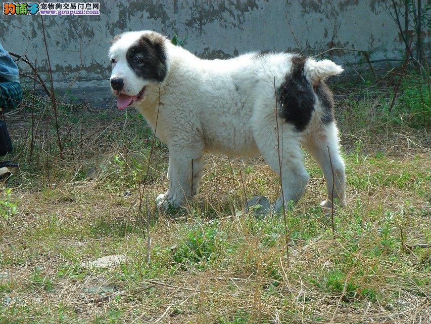 中亚牧羊犬海口CKU认证犬舍自繁自销品质保障可全国送货