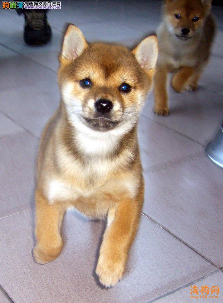 柴犬幼犬热销中、自家繁殖保健康、提供养护指导