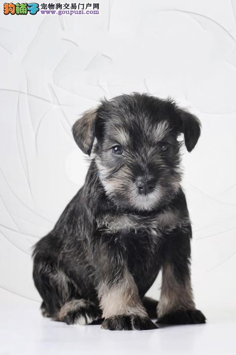 正规犬业 出售可爱的老头犬雪纳瑞犬