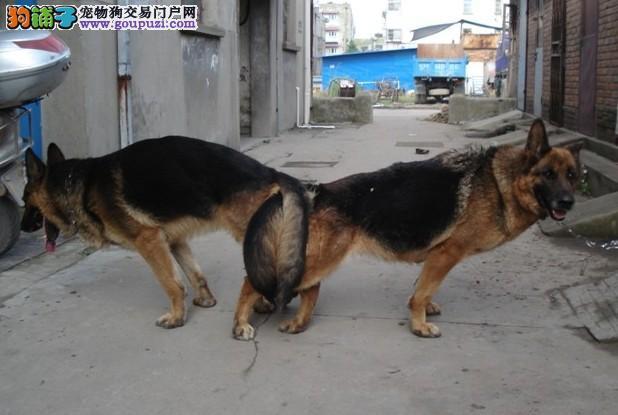 上海大众犬业长期出售高品质狼狗 包纯包健康
