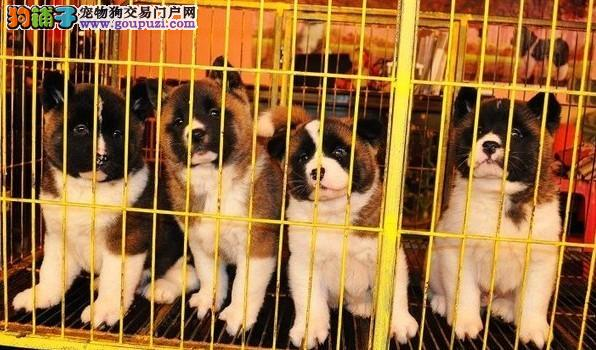 上海大众犬业长期出售高品质秋田犬和柴犬 包健康