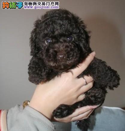 犬舍长期出售韩系/泰系泰迪有玩具体/茶杯体/标准 包活