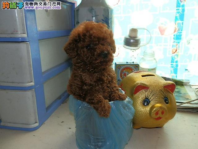 上海大众犬业长期出售高品质茶杯犬 颜色齐 包纯包健康