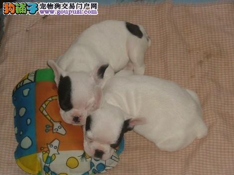 上海松江大众犬业欢迎您来挑选 英斗和法斗都有 包活