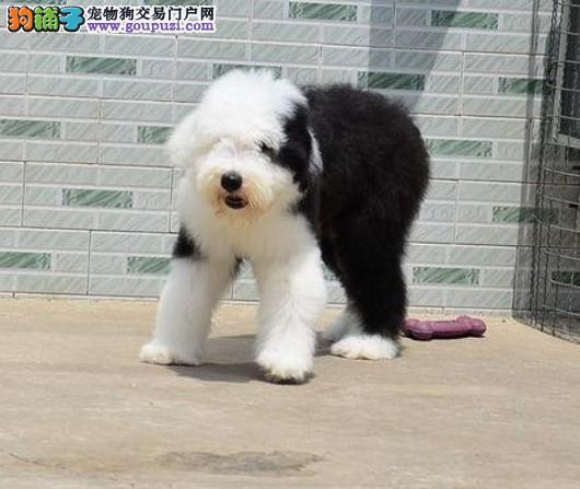 杭州宠物园的古牧宝宝