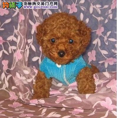 泰迪犬 茶杯泰迪 迷你泰迪 玩具泰迪 泰迪犬舍 直销