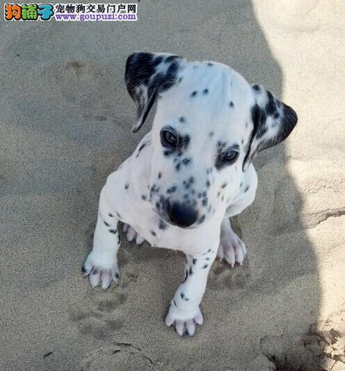 高端斑点狗幼犬 保证品质一流 签订终身合同