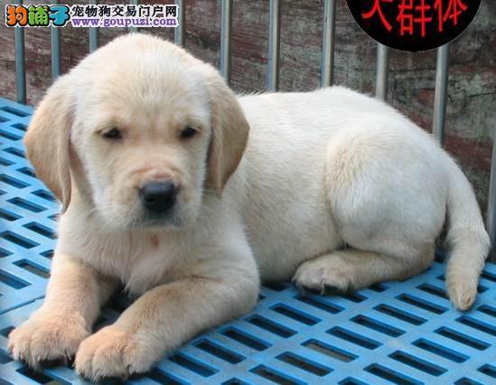 苏州鸿运犬业出售导盲犬小Q 拉布拉多 周边可以送货