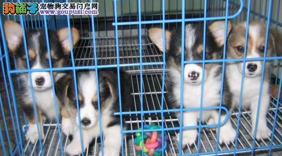 皇家柯基犬 幼犬三个月 赛级品质 健康第一