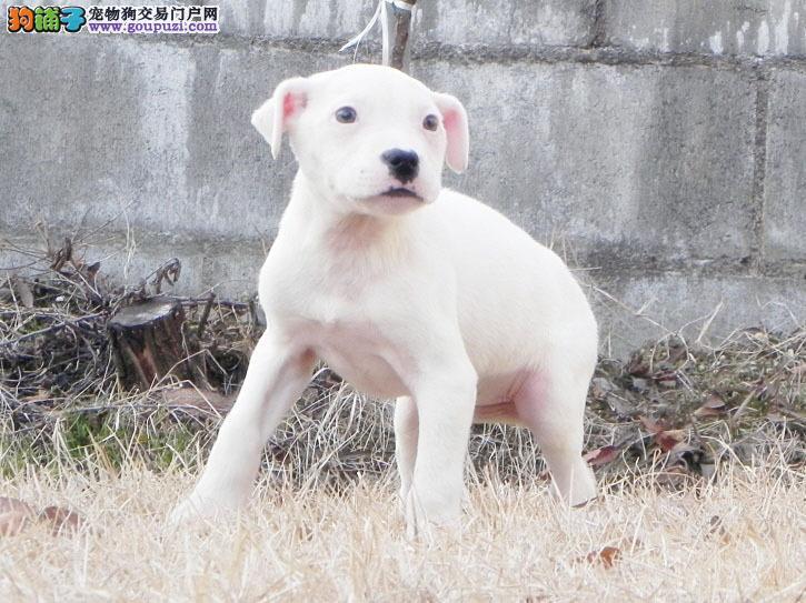 大型专业培育杜高犬幼犬包健康当地上门挑选