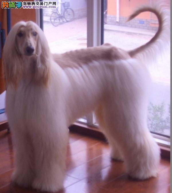 犬舍直销品种纯正健康贵阳阿富汗猎犬质保三年支持送货上门