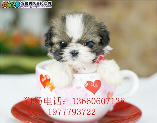 广东最大养狗基地 茶杯犬 广州哪里有纯种茶杯狗犬卖