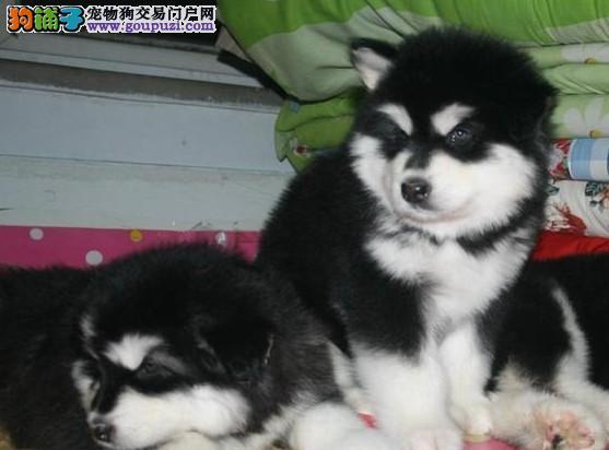 基地出售阿拉斯加幼犬种公配种