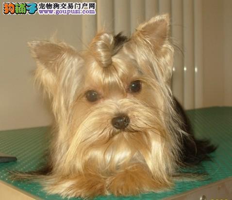 上海约克夏犬舍韩版超小体约克夏犬金头银背约克夏梗