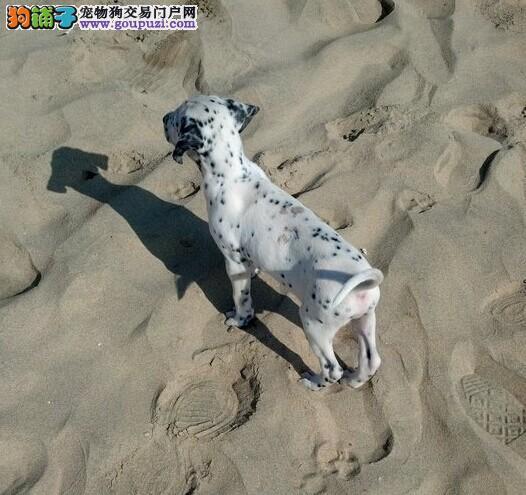 101斑点狗 优质纯种斑点狗 可签协议