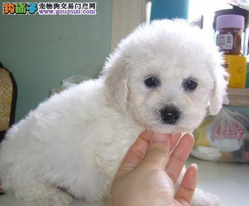 犬舍直销贵宾宝宝 颜色齐全 质保健康