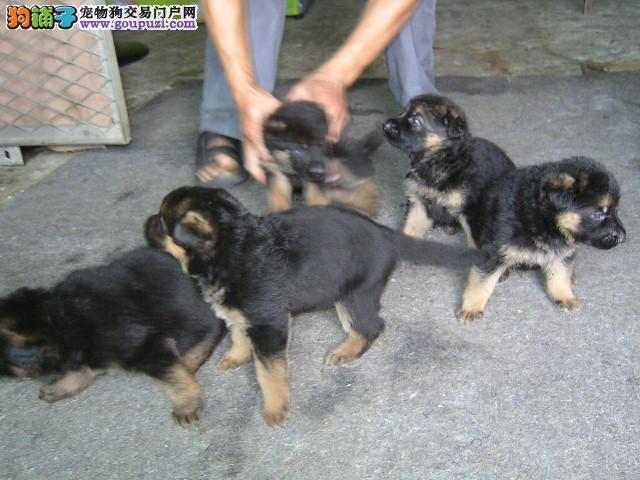 青浦区狼狗多少钱狼狗照片青浦区出售狼狗