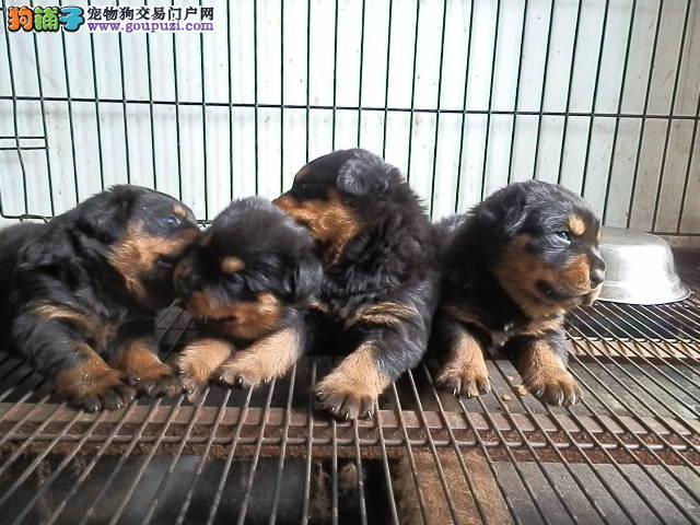 馨荣犬业出售动作迅猛气势强悍的狗狗 罗威纳幼犬 送货