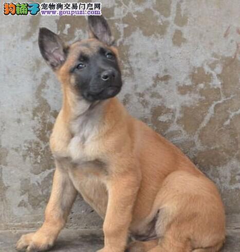 青浦区马犬多少钱马犬照片青浦区出售马犬