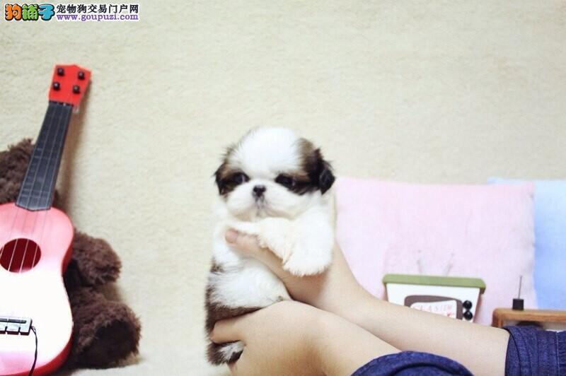 青浦区西施犬多少钱西施犬照片青浦区出售西