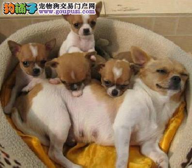 出售小体吉娃娃 可爱至极 正规犬舍繁殖 欢迎选购