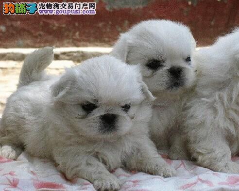 郑州实体店低价促销赛级京巴幼犬诚信经营三包终身协议
