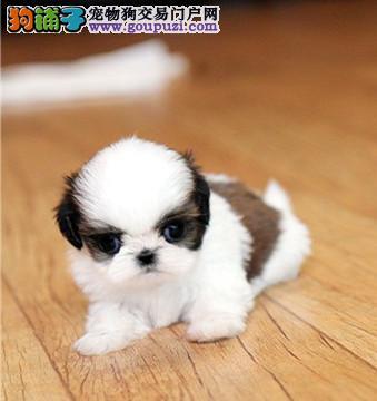 上海出售西施犬公母都有品质一流可直接微信视频挑选