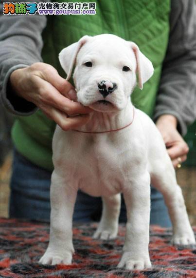 青浦区杜高犬多少钱杜高犬照片青浦区出售杜