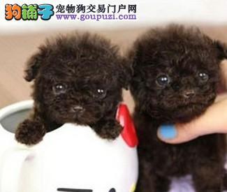 重庆哪里有茶杯犬出售,重庆茶杯犬多少钱,茶杯犬图片