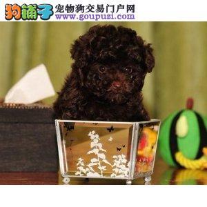 权威机构认证犬舍 专业培育茶杯犬幼犬全国送货上门