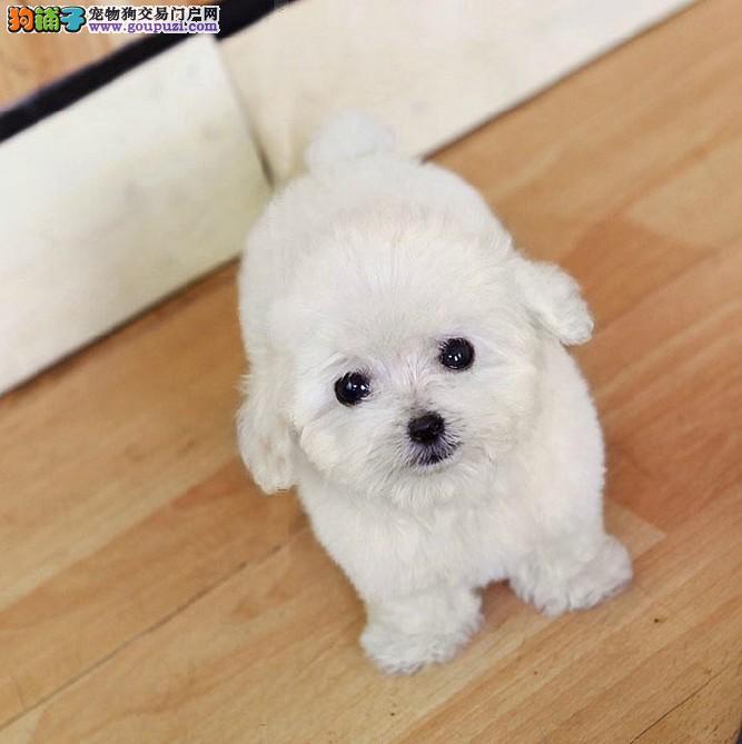 纯种卡哇伊茶杯犬出售 玩具微小型泰迪熊 健康纯种保