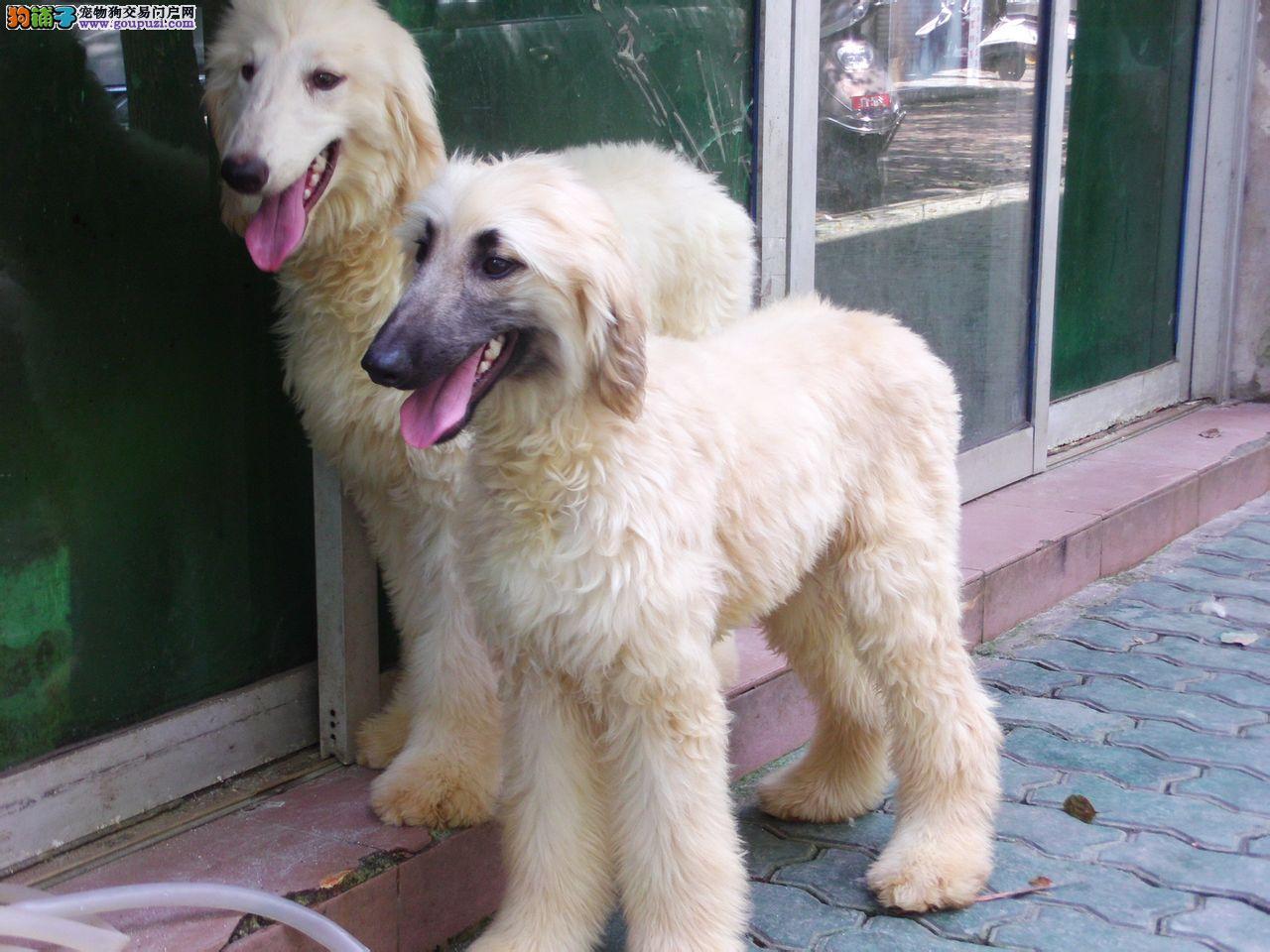 国际注册犬舍 出售极品赛级阿富汗猎犬幼犬优质售后服务