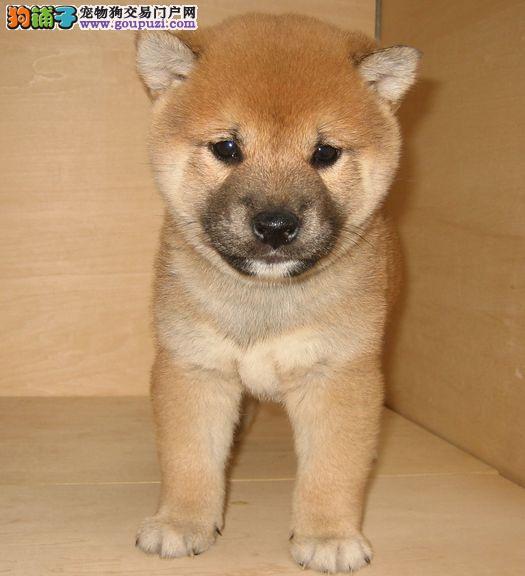 西城最大犬舍出售多种颜色柴犬签订终身协议