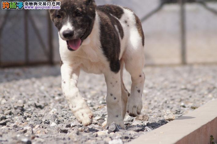 出售多种颜色郑州纯种中亚牧羊犬幼犬签订三包合同