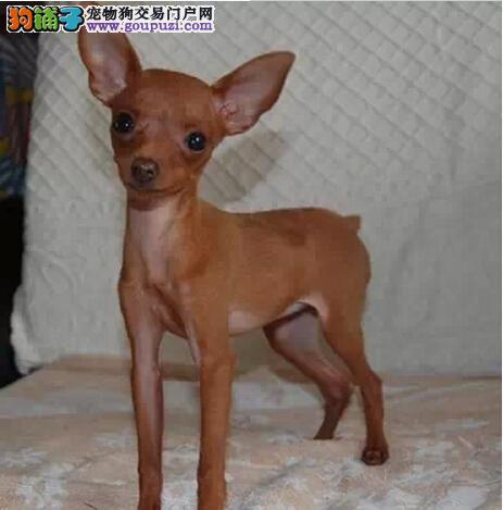 [出售]小鹿犬家养DD2月龄