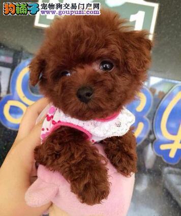 深圳茶杯犬大概多少钱 深圳哪里有卖纯种茶杯犬
