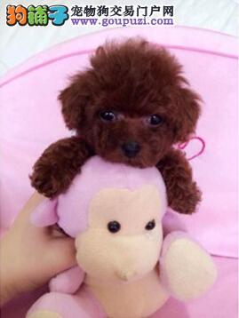 杭州出售茶杯袖珍犬 玩具袖珍犬品质保证血统好