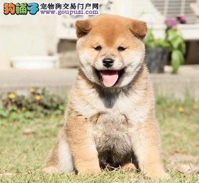 赛级柴犬幼犬 真实照片视频挑选 专业信誉服务
