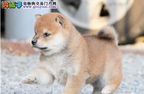 高品质柴犬幼犬 自家繁殖保养活 提供养狗指导