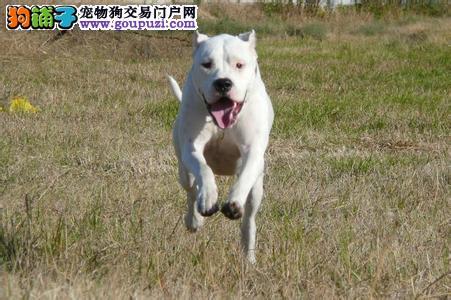 CKU认证犬舍 专业出售极品 杜高犬幼犬优惠出售中狗贩子勿扰