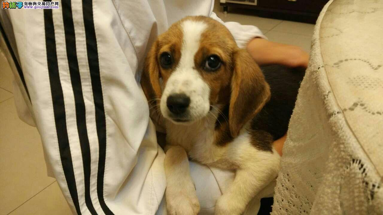 养殖基地售健康、纯种米格鲁比格犬